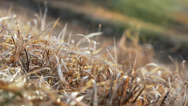 vidéos et rushes de le soleil brille sur l'herbe sèche se déplaçant dans le vent, champ vert brouillé à l'arrière-plan - foin