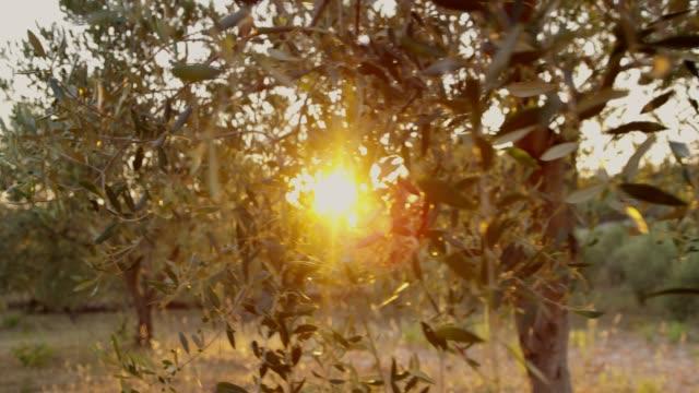 vidéos et rushes de mme sun qui brille derrière oliviers idylliques et tranquilles - olivier