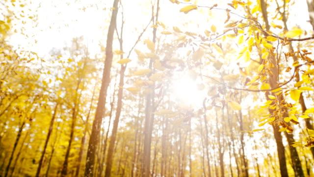 vídeos de stock, filmes e b-roll de ms super slow motion sun brilhando sobre folhas de outono amarelo em árvores florestais - setembro amarelo
