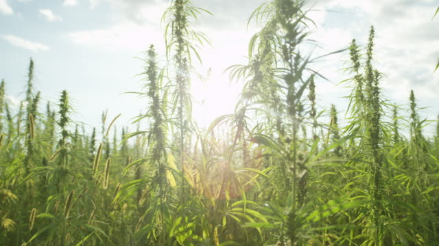 SLOW MOTION Sun shining past narcotic marijuana plants in illegal field outdoors SLOW MOTION Sun shining trough narcotic marijuana plants in agricultural field outdoors. Medicinal cannabis field cultivation. Illegal narco weed plantation growing outdoors under the sun. Pot farming marijuana herbal cannabis stock videos & royalty-free footage