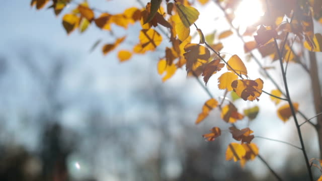 Sun shining through autumn leaves with spider web moved by wind video