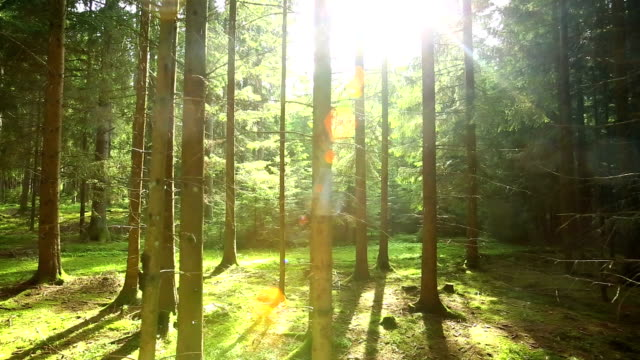 vidéos et rushes de soleil brille à travers la forêt plan en travelling - forêt