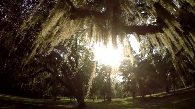 Sun shining through live oak tree canopy with spanish moss video