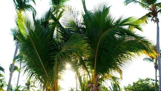 sun shining through palm trees - albero tropicale video stock e b–roll