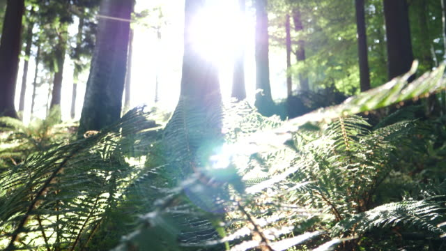 CS Sun shining through redwood trees in a forest video