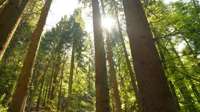 sun shining through spring forest - conifera video stock e b–roll