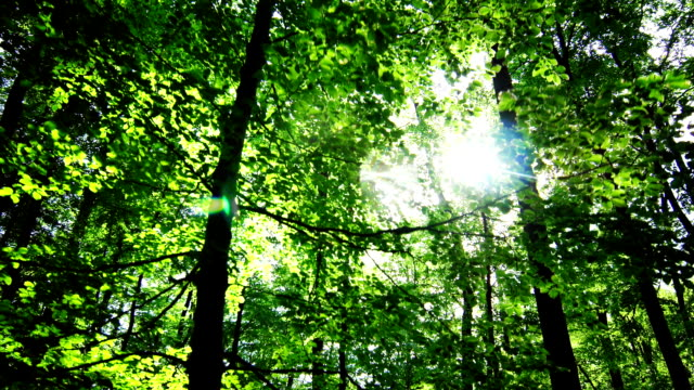 GIMBAL Sun Shining Through Treetops In Spring Forest (4K/UHD to HD) video