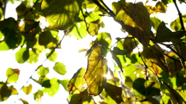 Sun shining through yellow leaves video