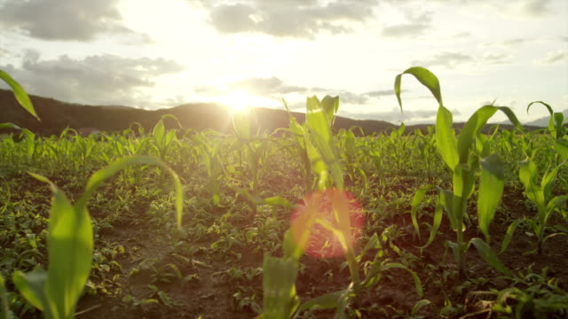 SLOW MOTION CLOSE UP: Sun shining through young maize video