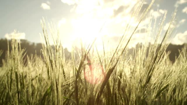 vídeos de stock e filmes b-roll de sol a brilhar através de jovem trigo ao nascer do sol - vídeos de milho