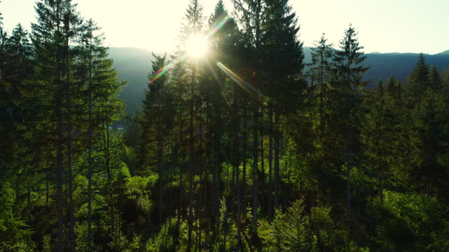 sun shining thru the trees in forest - stock video - conifera video stock e b–roll