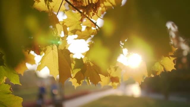 Sun through autumn leaves dolly shot
