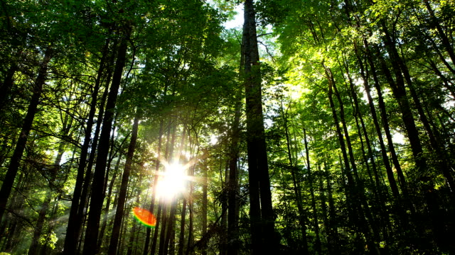 Sun Through Forest Time Lapse