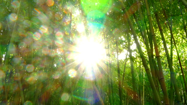 sun through the bamboo forest video