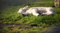 istock Sunbathing Lamb 135821438