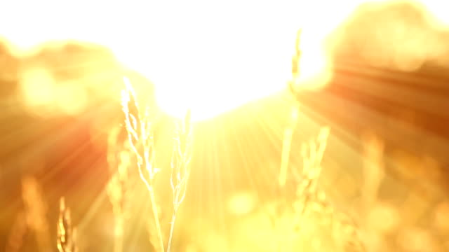 Sunbeam Grass video