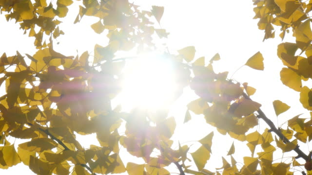 Sunbeam of ginko tree with sunshine Sunbeam of ginko tree with sunshine ginkgo tree stock videos & royalty-free footage