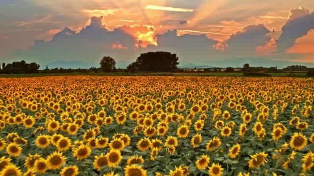 sunbeam of hope - sunflower стоковые видео и кадры b-roll