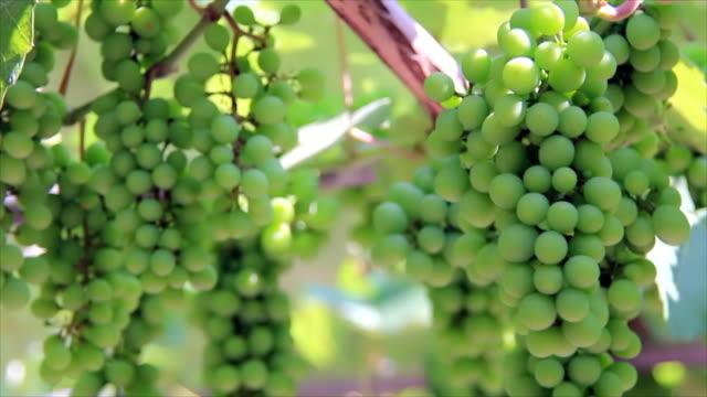 Sunbeams on immature green grapes video
