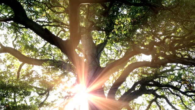 sunbeams attraverso un'antica quercia - penombra video stock e b–roll