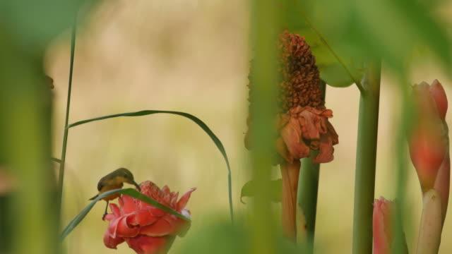 sunbird eat diet from flowera video