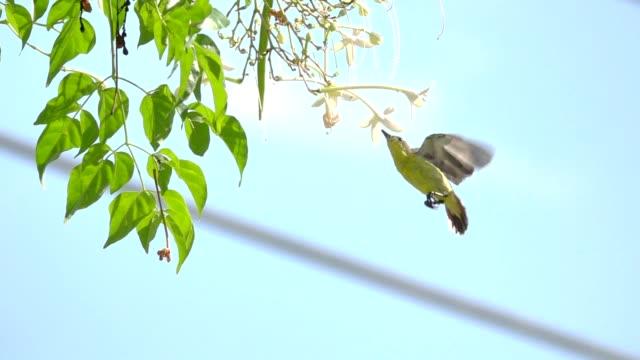 Sunbird female slow motion. video