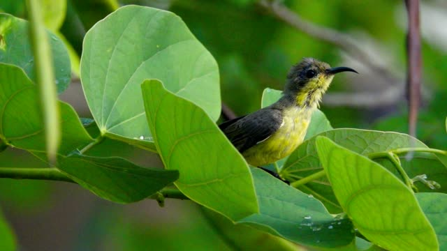 Sunbird juvenile taking a bath in slow motion. video