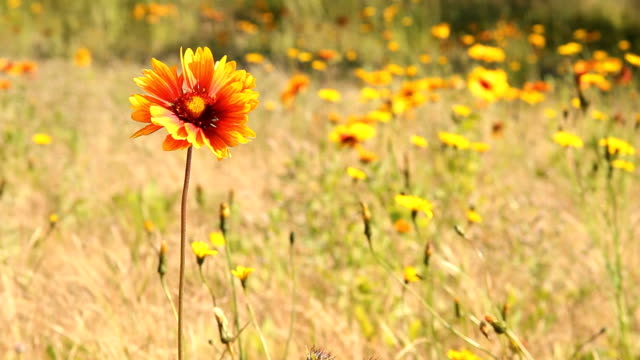 Sundance, Firewheel or Indian Blanket Flower video