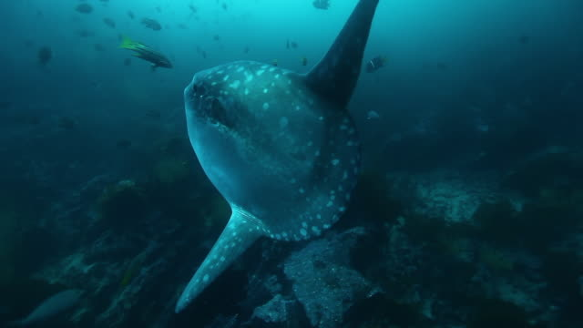 Sunfish Mola mola fish in underwater marine life of Pacific Ocean.