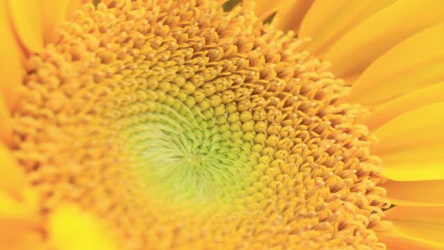 подсолнечник 4 k - sunflower стоковые видео и кадры b-roll