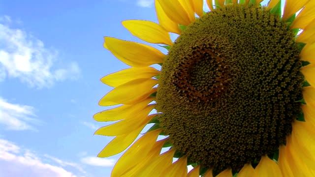 Sunflower Against Blue Sky video