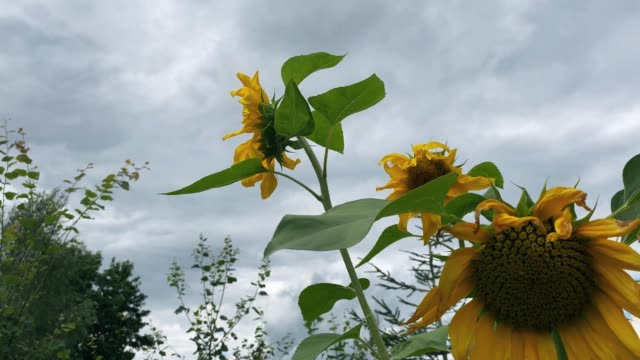 Sunflower against stormy clouds at bad weather