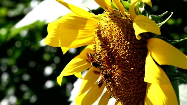 sunflower and bee - ape operaia video stock e b–roll