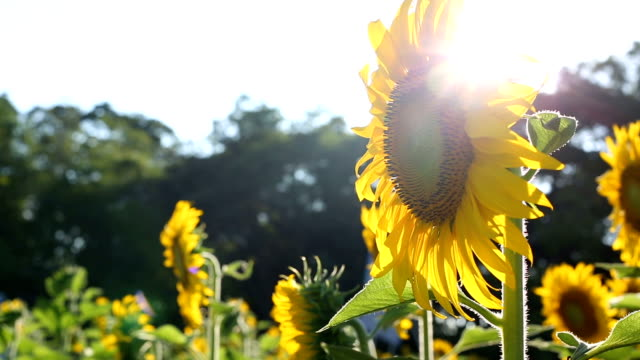 sunflower and sun video