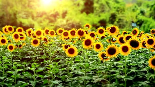 подсолнечник на закате - sunflower стоковые видео и кадры b-roll