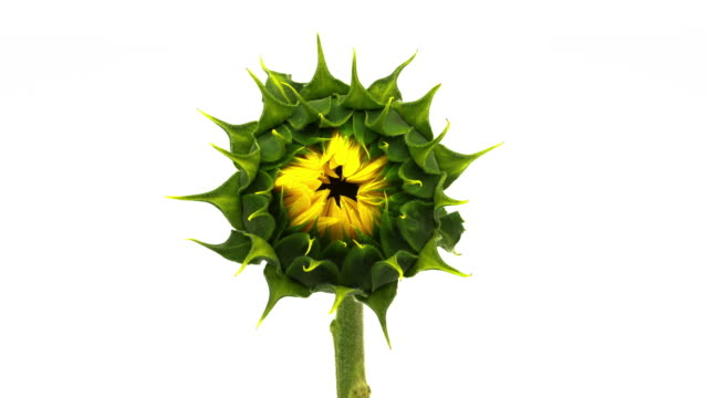 Sunflower Blooming Time Lapse