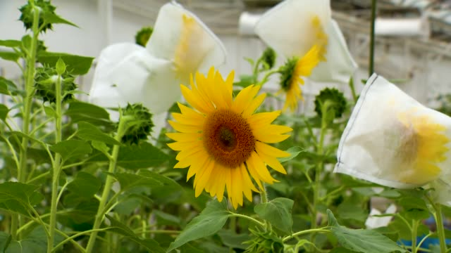 Sunflower Blooms in the Research Laboratory. Experience in Breeding Varieties Resistant to Broomrape Sunflower Blooms in the Research Laboratory. Experience in Breeding Varieties Resistant to Broomrape sowing stock videos & royalty-free footage