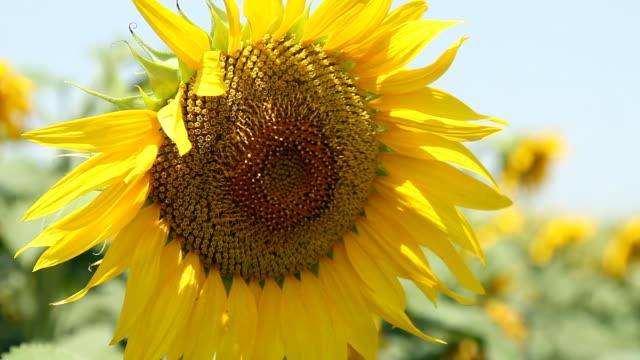 Sunflower close up - HD, NTSC video