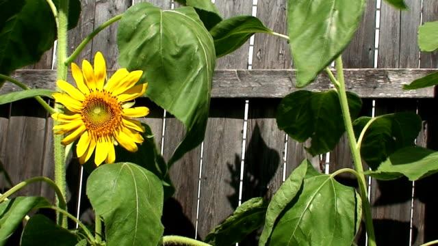 hd sunflower fence - solar panel bildbanksvideor och videomaterial från bakom kulisserna