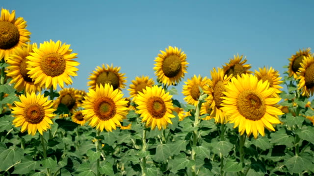 sunflower field, agriculture (izmir / foca) - sunflower стоковые видео и кадры b-roll