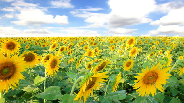 sunflower field and moving cloud in the sky