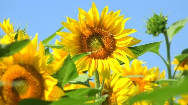 sunflower field during sunset, amazing beautiful backgound - sunflower стоковые видео и кадры b-roll