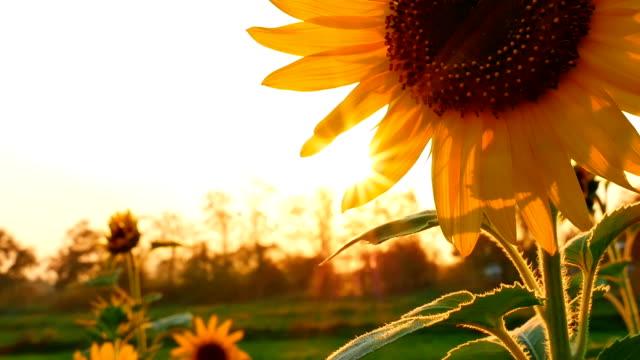подсолнечник в поле на закате - sunflower стоковые видео и кадры b-roll