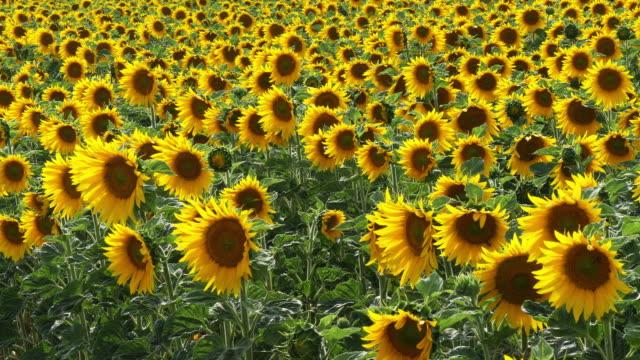 Sunflower Field, helianthus sp, Normandy in France, Slow motion 4K