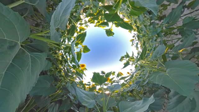 Sunflower Field on Little Planet Format