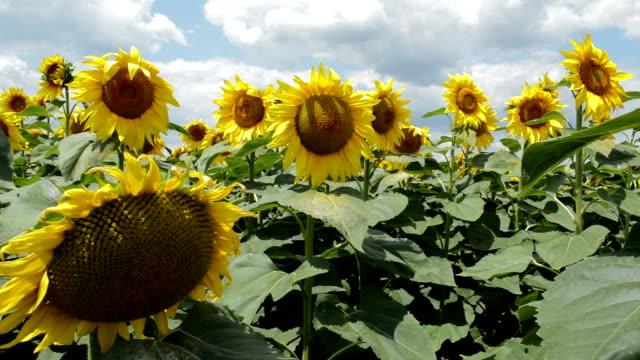 Sunflower field on sunny summer day