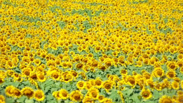 Sunflower field Sunflower stems swaying in the breeze video