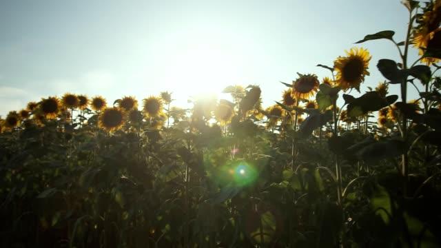 vídeos de stock, filmes e b-roll de campo de girassol. o campo de girassol vibrante fecha com muitas flores amarelas, panorama no verão. - flor temperada