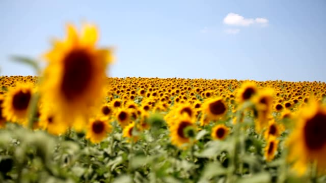 sunflower field Golden sunflowers wide angle stock videos & royalty-free footage