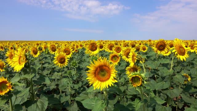 해바라기 필드  - sunflower 스톡 비디오 및 b-롤 화면